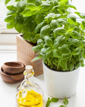 fresh basil herb in pot olive oil kitchen window